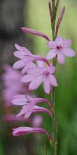 wild_flower_WA