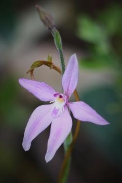 wild_orchid_WA