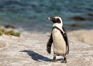 b-African-Penguin