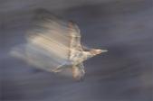 B-Flying_Gannet