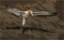b-Gannet-Landing