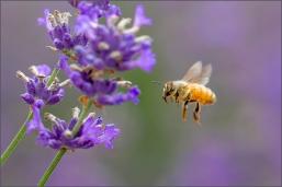 B-Incoming_Bee
