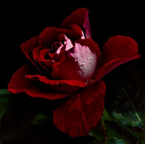 b-Rose