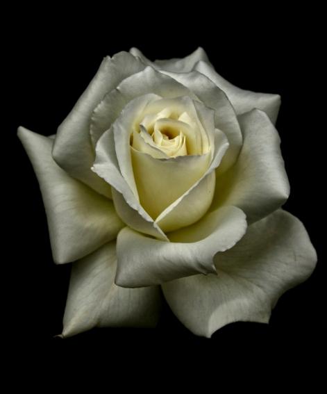 b-Silky_Rose