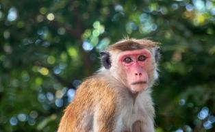a-Toque Monkey, Sri Lanka