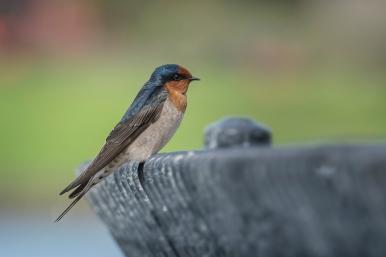 Swallow - Panmure Lagoon