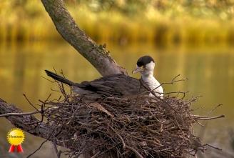 b-Nesting-Shag