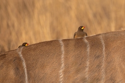 b-Oxpeckers on African Kudu