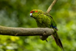b-red crowned parakeet_photo.jpg