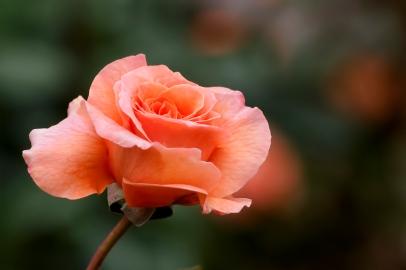 b-rose_photo.jpg