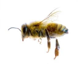 A-Honeybee-Apis-Mellifera