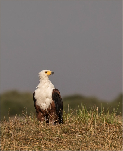 b-Fish-Eagle-on-the-Banks-of-the-Chobe-River