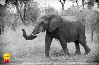 A-Bull_elephant