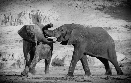 a-Elephants-Play-Fighting-Botswana