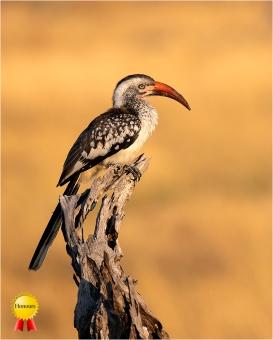 a-Hornbill-at-Sunset