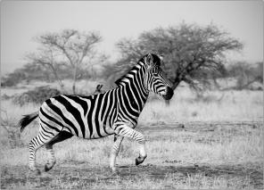 a-Running-Zebra-South-Africa