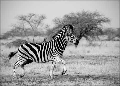 a-Running-Zebra-South-Africa