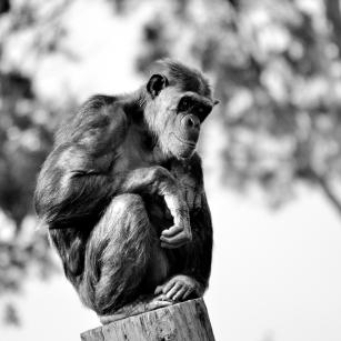 B-chimp_pensive