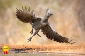 b-grey_go_away_bird