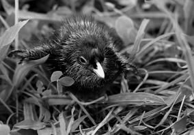 B-Pukeko.Chick