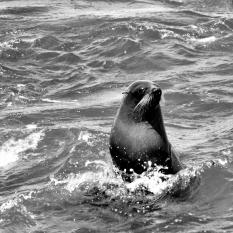 B-seal_water_wiskers