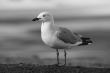 c-Red_billed_ gull