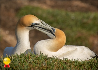 a-Gannets-at-MuriwaiHonours