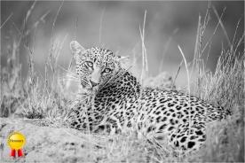b-LeopardHonours