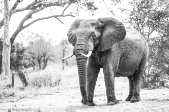 A-Bull_elephant_high_key