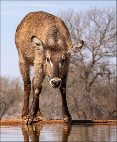 a-Thirsty-Waterbuck