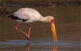 a-Yellow-Billed-Stork-Fishing