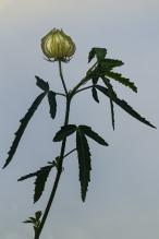 c-Hibiscus_seed_head