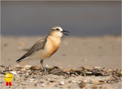 a-Dotterel-Calling-Her-MateHonours