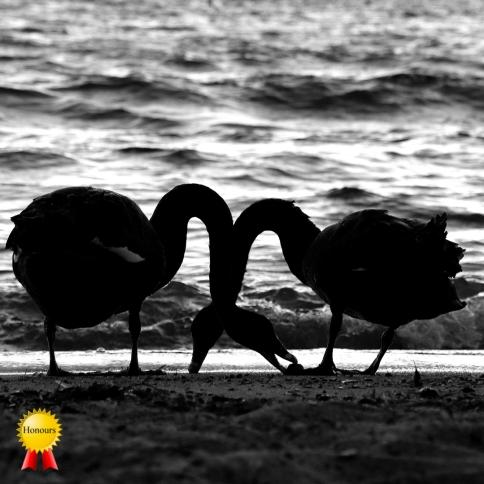 b-Two_Taupo_SwansHonours