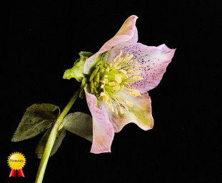 c-Winter's_HelleboreHonours