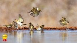 a-Birds Bathing _Honours