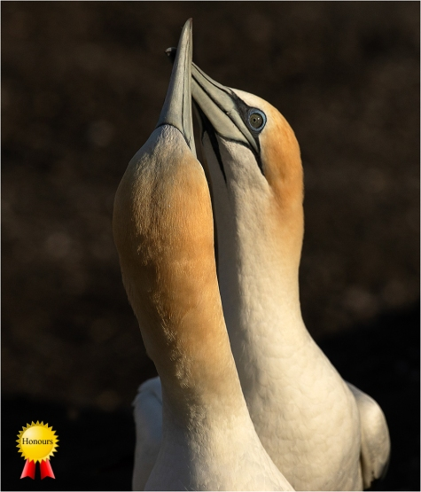 a-Gannets-Spooning-Muriwai_Honours