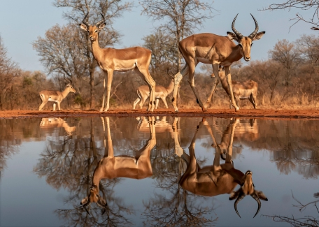 a-Impala Reflections