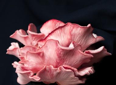 a-Pink_Oyster_Mushroom