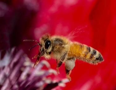 A-Poppy-Pollinator