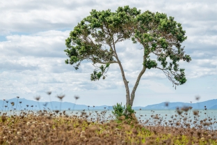 Kaiaua Tree