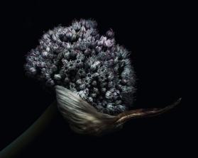 A-Allium