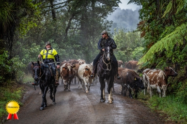 a-Cattle drive King country. open.Honours