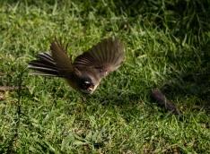 c-Piwakawaka-chasing-insects
